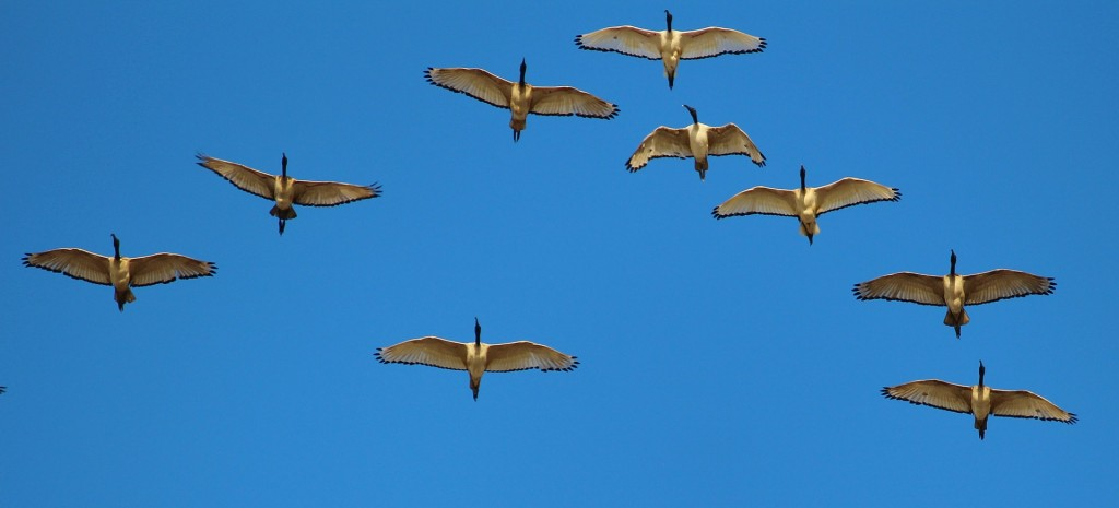 wild-geese-578098_1920